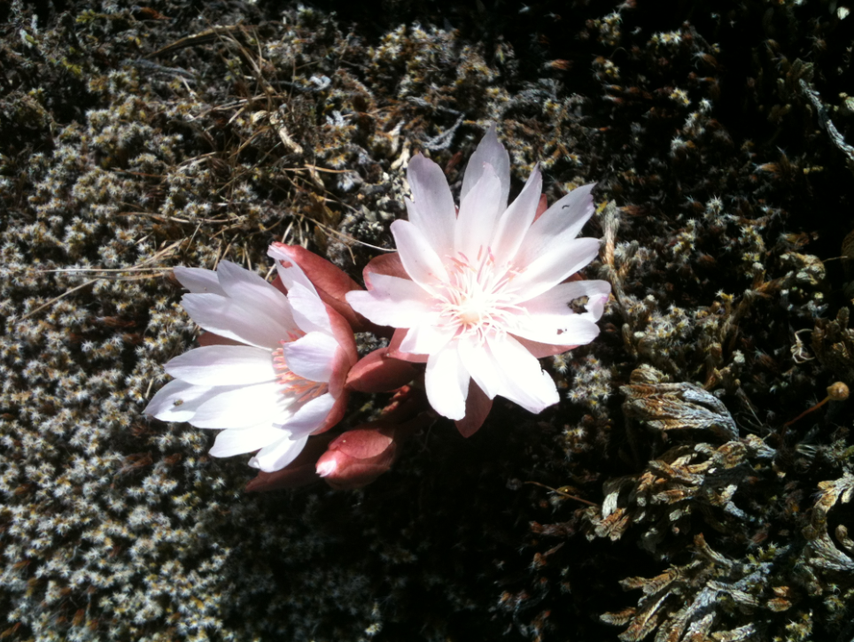 One of the many Lewisia rediviva at Catherine Creek