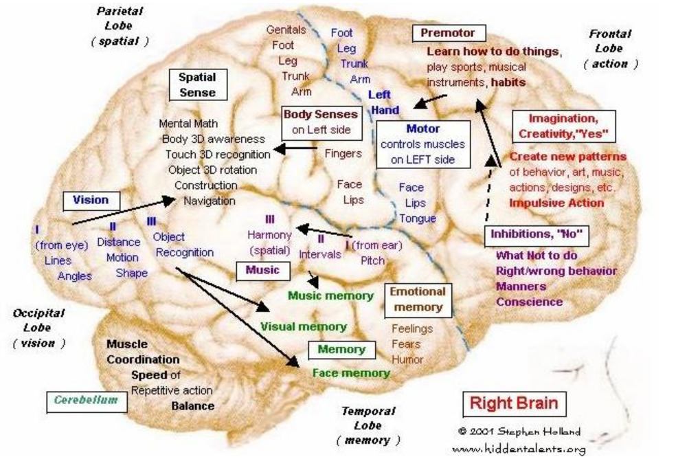 Brain,_right_hemisphere
