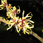 Witch Hazel at Bishop's Close, Portland, OR. Photo by Alex LaVielle